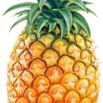 在家种菠萝图解教程