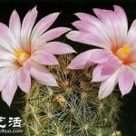 美轮美奂仙人掌花