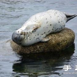 超可爱的治愈系海豹