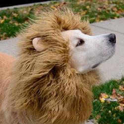 手工DIY狮子鬃毛头套 让狗狗变成威武雄狮