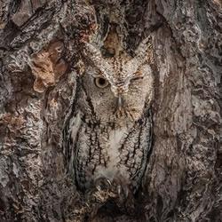 森林里的猫头鹰伪装术 变色龙也比不过!