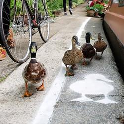 绅士性格的展现 英国运河旁的「鸭行道」