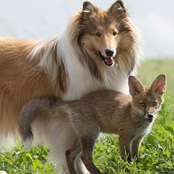 跨越种族的亲情 狐狸宝宝与牧羊犬妈妈!