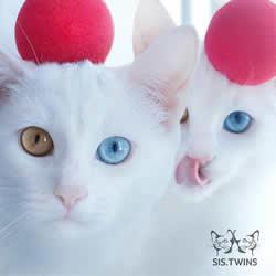 最美双胞胎:让人融化的白色小猫 Sis.Twins.
