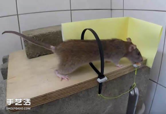 老是夜里出没的老鼠,不但偷吃食物,而且还会啃坏家里的东西,可以想象小伙伴们对它有多么深恶痛绝了!为了捕捉老鼠,市面上也出有售许多的捕鼠器,但却不一定好用。分享一个简易的捕鼠器制作方法,可以用尼龙扎带把老鼠捉住!