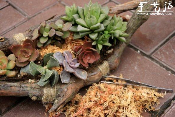 葡萄老根DIY多肉植物盆栽的教程