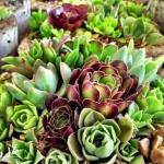 DIY多种多肉植物混搭的盆栽