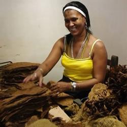古巴雪茄手工制作过程大揭秘
