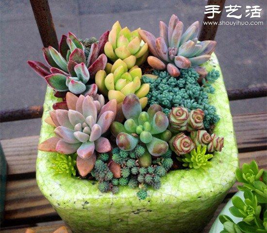 常見多肉植物DIY美麗多肉拼盤