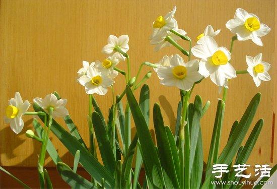 水仙花怎麼養 水仙花的養殖方法