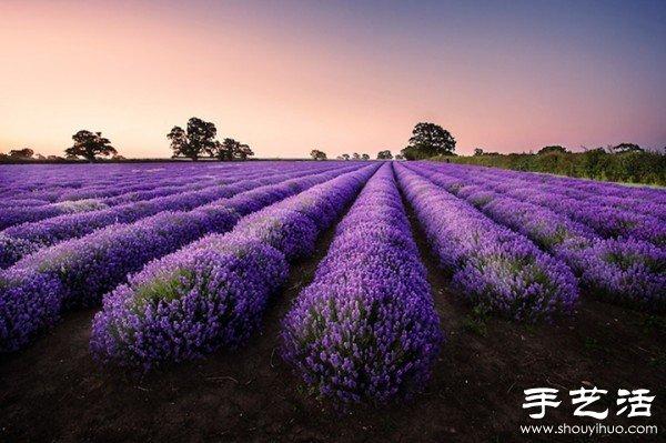 英國薩默塞特郡的薰衣草家庭農場