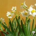 水仙花怎么养 水仙花的养殖方法