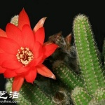 仙人掌开花的养殖建议