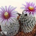 蔷薇球栽培及繁殖的方法