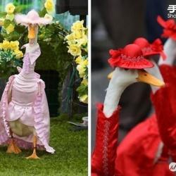 澳大利亚皇家复活节秀上演鸭子时装表演