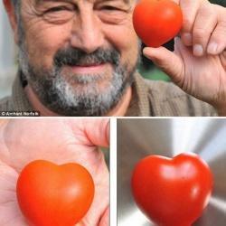 英国老汉种出标准的心形番茄 真是萌萌哒