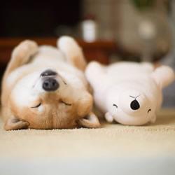 秋田犬跟它的白熊好朋友 同样睡姿太可爱了!