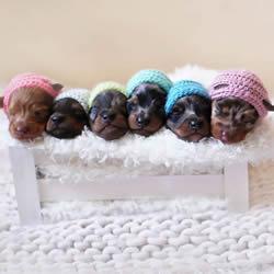 治愈系图片:百分百可爱的刚出生腊肠狗宝贝
