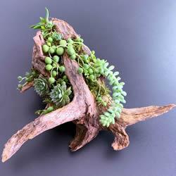 �旎匮┧��之�花盆 DIY制作多肉盆景的方法