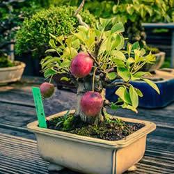 迷你盆景树DIY!可以种植全尺寸的苹果等水果